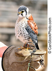 little American Kestrel Falco sparverius