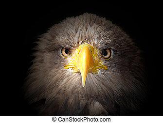 sea eagle on black background