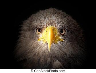 sea eagle on black background