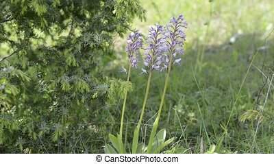 wild orchid of the species orchis, endangered and rare...