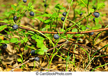 Bilberry - Ripe bilberry on the green branches with leaves