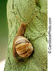 Helix pomatia (grape snail) on the green wood