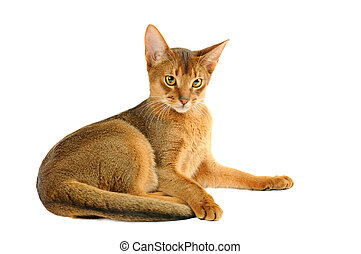Abyssinian cat - Purebred abyssinian young cat isolated on...