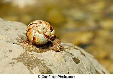 Helix pomatia grape snail on the rock over mountain river
