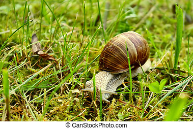 Helix pomatia (grape snail) in the green grass