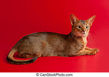 Abyssinian cat - Purebred abyssinian young cat on the red...