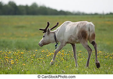 Young female reindeer in the summer meadow