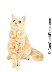 Scottish purebred cat - Creamy tabby Scottish straight...