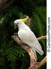Sulphur-crested Cockatoo - White parrot Sulphur-crested...