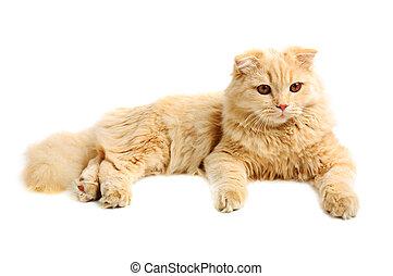 Scottish highland cat - Creamy scottish highland six monthes...