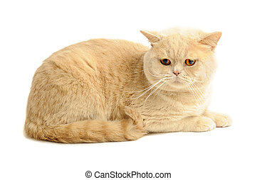 Scottish purebred cat - Creamy tabby scottish straight...