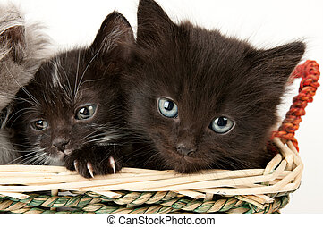 Two sad kittens in a basket on white background