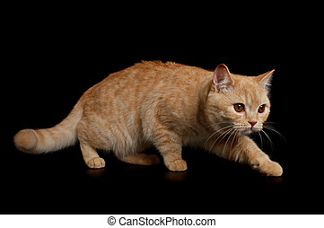 Scottish purebred cat sneaking out of the darkness - Creamy...