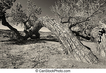 Old Timer - Old cottonwood tree in the desert