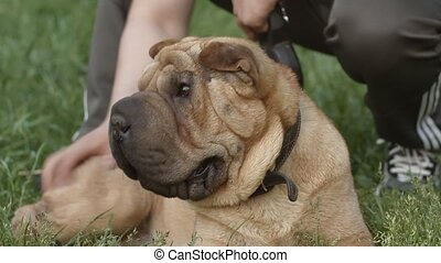 shar pei dog  and the owner in the park