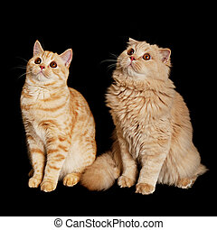 Two scottish cats - Creamy scottish straight shorthair and...