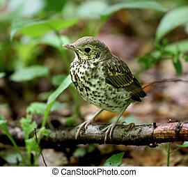 Little bird blackbird