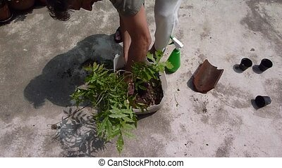 transplant wisteria - man transplanting Wisteria bush