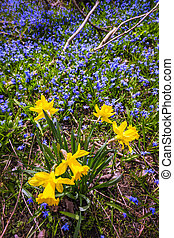 Spring wildflowers - Yellow spring daffodils and blue...