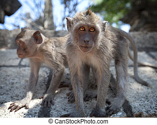 Pair of young monkeys - crab-eating macaque, Bali - A pair...