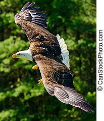 calvo, águia, voando