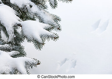Snow on winter evergreen branches