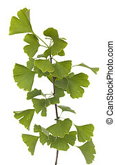 Ginkgo biloba - young branch (Ginkgo biloba) on white...