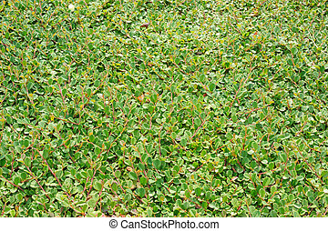 Cotoneaster dammeri, fast-growing evergreen low shrub with...