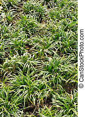 Ophiopogon japonicus, evergreen sod-forming perennial plant...