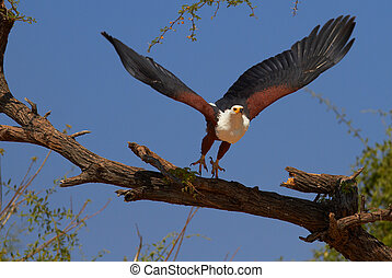 Fish Eagle - Fish eagle in a tree on the banks of the Chobe...