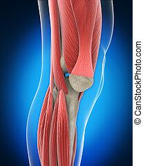 Knee Anatomy. 3D render