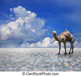 camel on sand desert with blue sky background for natural...