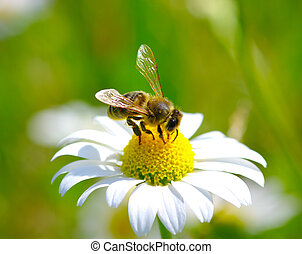 Bee on flower  - Bee on the chamomile flower