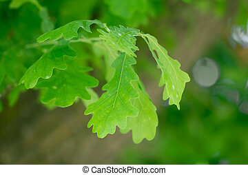 oak leaves in nature