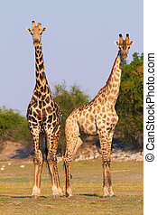 African Giraffes - A pair of giraffes standing on the banks...