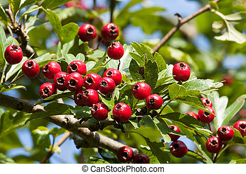Hawthorn berries - Mature nice red hawthorn berries