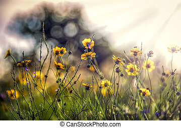Texas Wildflowers - Bright yellow sunflowers bathed in early...