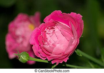 beautiful rose flower in nature. macro