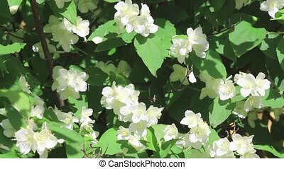 White flowers of jasmine on light breeze on green grass...