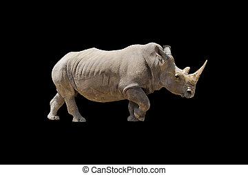 White Rhino Isolated on Black