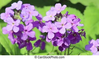 Violet flower on light breeze