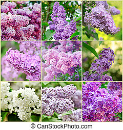 Lilac collage - Collage from nine lilac spring flower images