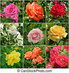 Rose flowers collage - Collage from roses, growing in the...
