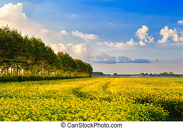 field with rapeseed flowers and blue sky - yellow field with...