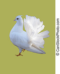 White dove isolated on a color background.