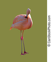 Pink flamingo - Flamingo isolated on a color background