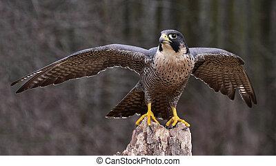 Stretching Peregrine Falcon - A Peregrine Falcon (Falco...