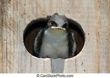 Baby Bird In a Bird House - Baby Tree Swallows (tachycineta...