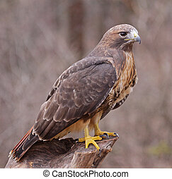 Posed Red-tailed Hawk - A Red-tailed hawk Buteo jamaicensis...