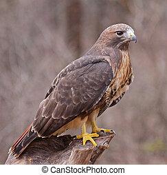 posado, vermelho-red-tailed, falcão